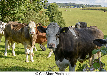pasturing, looe, vaches, campagne, groupe, cornouailles