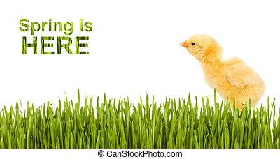pastvina, proložit, osamocený, malý kuře, exemplář