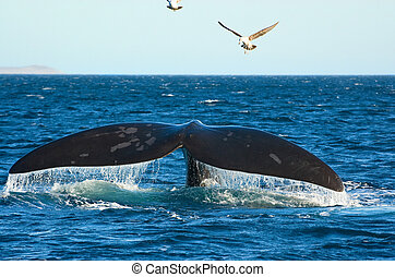 patagonia, balena, destra, meridionale, argentina.