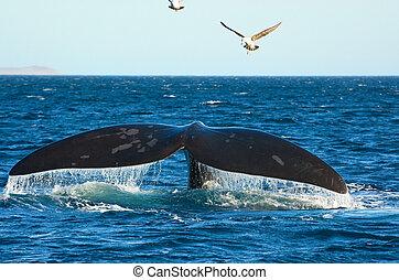 patagonia, ballena, derecho, meridional, argentina.