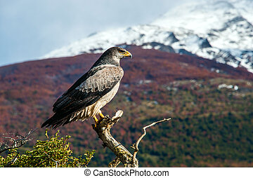 Patagonian classic: bird, tree, hill. Torres del Paine National Park in the south of Chile