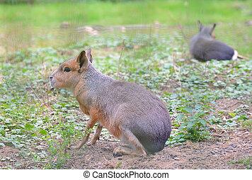patagonian, dolichotus, patagonis