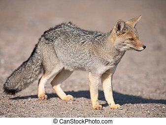 patagonian, gris, zorro, (dusicyon, culpaeus)