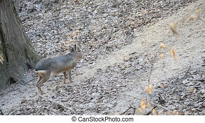 Patagonian mara stands still and walks out of frame in a...