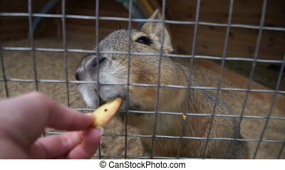 Patagonian Mara. The animal eats from hands