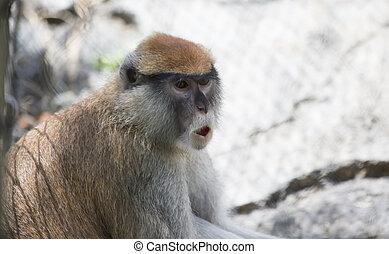patas 猿