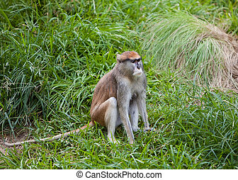 Patas Monkey on grass - A Patas monkey sitting on grass with...