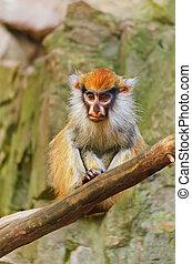 Patas Monkey Sitting On Dry Tree Bough
