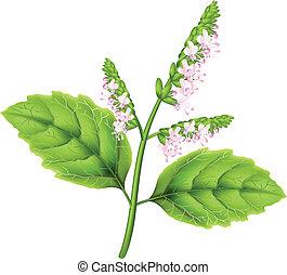 Plant patchouli (Pogostemon cablini). Vector illustration on white background.