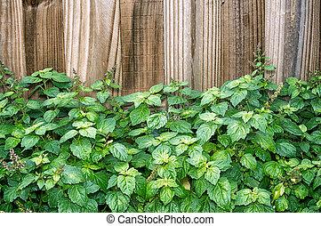 patchouli, barrière, devant, plante, brun