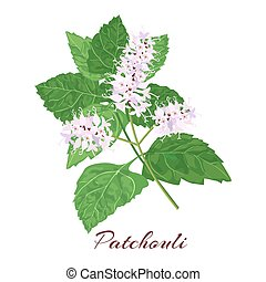 Patchouli known as Pogostemon cablini. Vector illustration on white background.