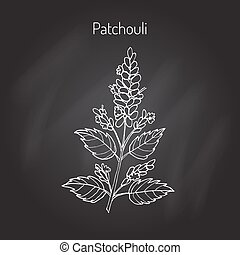 Patchouli Pogostemon cablin , also patchouly or pachouli - aromatic and medicinal plant, vector illustration