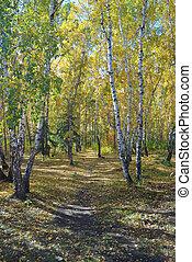 Path in a birch grove. Autumn landscape.