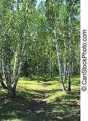Path in a birch grove. Summer landscape.