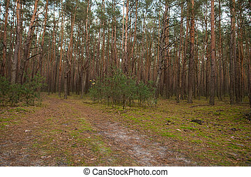 path in a forest of pine trees