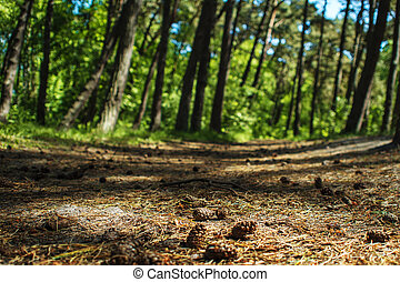 Path in spruce forest, the Cones on the ground, close-up