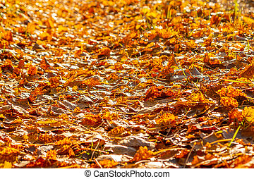 Path in the park covered with fallen autumn aspen leaves