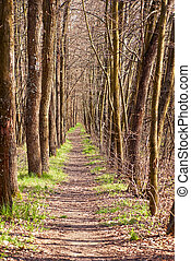 Path in the pine forest