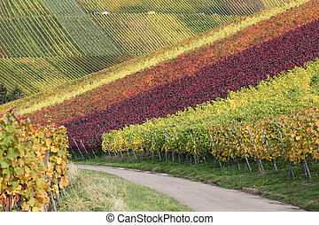 Path in vineyards during the wine grapes harvest - Path in...