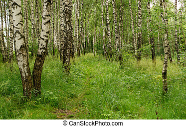 Path through birch grove. background, nature.
