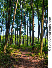 path through forest with tall trees. lovely summer scenery