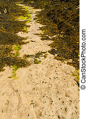 Path through seaweed on beach. - Path of sand between...