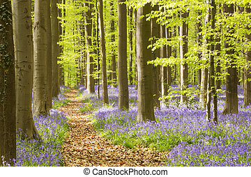Path through the blooming bluebell forest of Hallerbos in...