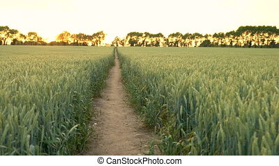 Path through wheat or barley field blowing in the wind at...
