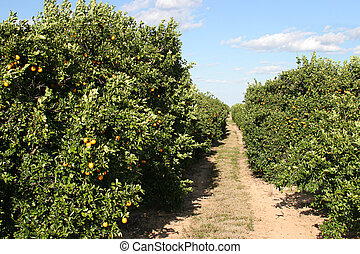 Path Thru Oranges - A path through a florida orange grove...