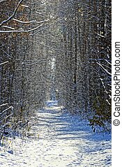 path under the snow in the winter forest on a sunny day -...