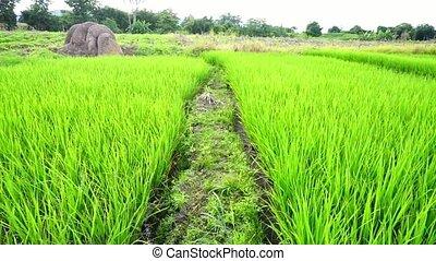 Paths in rice fields Green field