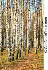 Pathway in an autumn birch grove