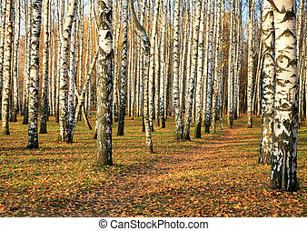Pathway in autumn birch grove in october