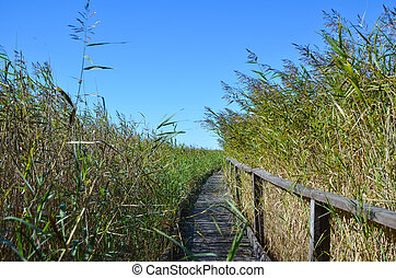Pathway in the reeds