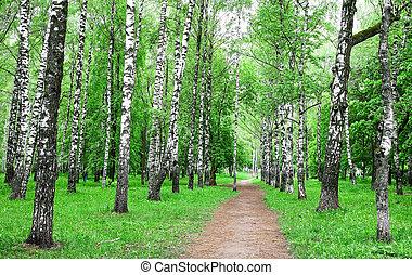 Pathway in the spring birch park