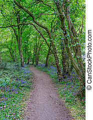 Pathway leading through the woods with bluebells on each...