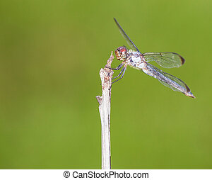 Patient dragonfly