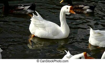 Patos, cisnes, gansos, natação