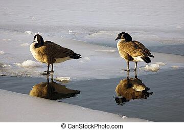 patos, en, charca