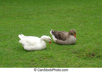 patos, en, pasto o césped