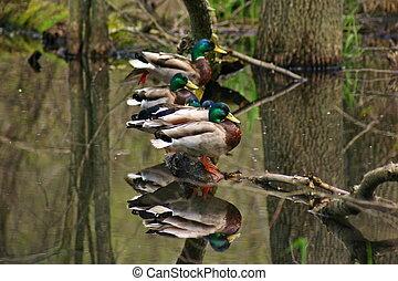 patos en una fila