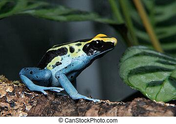Patricia Dyeing Poison Dart Frog, Dendrobates tinctorius, in...