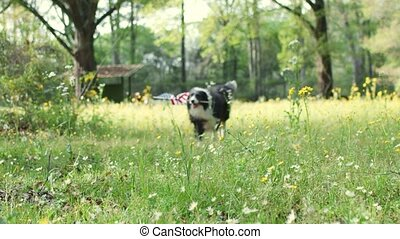 Patriotic border collie dog running running outside through flowers while carrying the American flag.