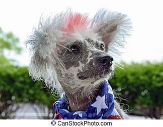 patriotic Chinese Crested Hairless dog