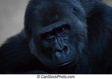 patrząc, goryl, szczelnie-do góry, aparat fotograficzny, prosty