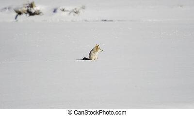 patrząc, kojot, dookoła