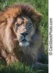 patrząc, szczelnie-do góry, aparat fotograficzny, męski lew