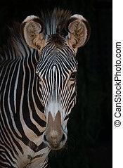 patrząc, szczelnie-do góry, aparat fotograficzny, zebra, grevy