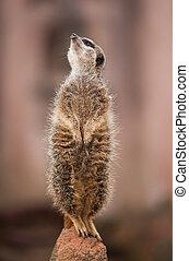 patrzeć, out:, czujny, meerkat, albo, suricate