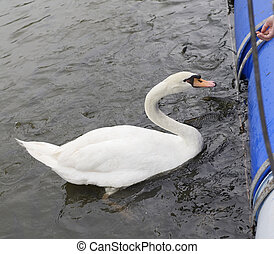Tourists feed the swan and fish in the pond